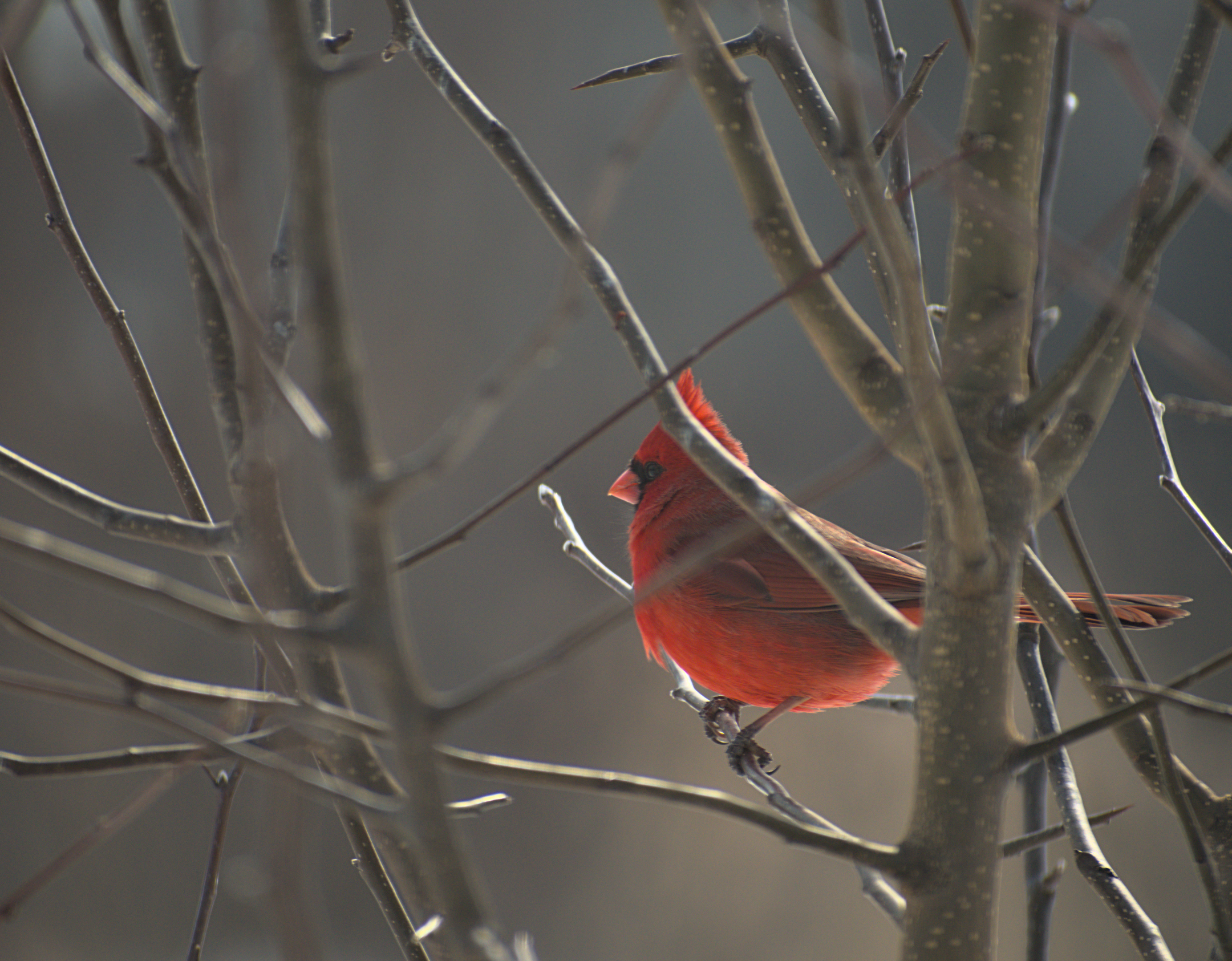 Cardinal in the Morning Hours