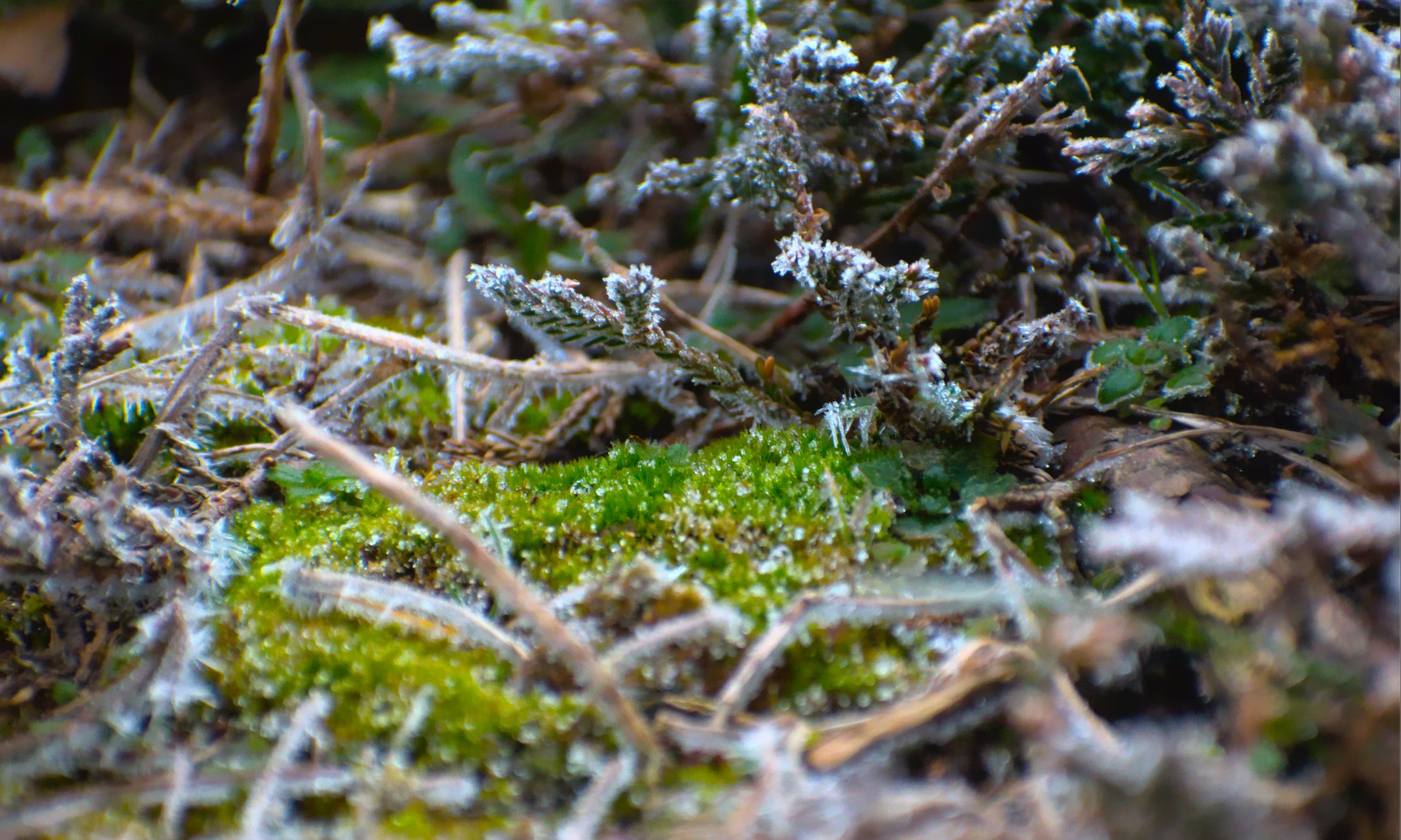 Frost-Covered Moss